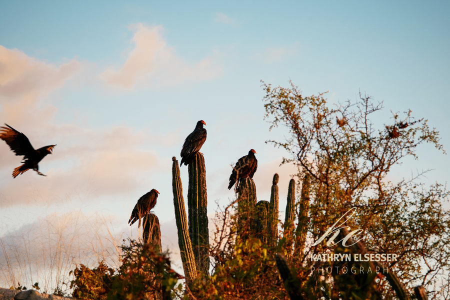 Turkey Vultures settling in for the evening in La Candelaria in Baja, Mexico