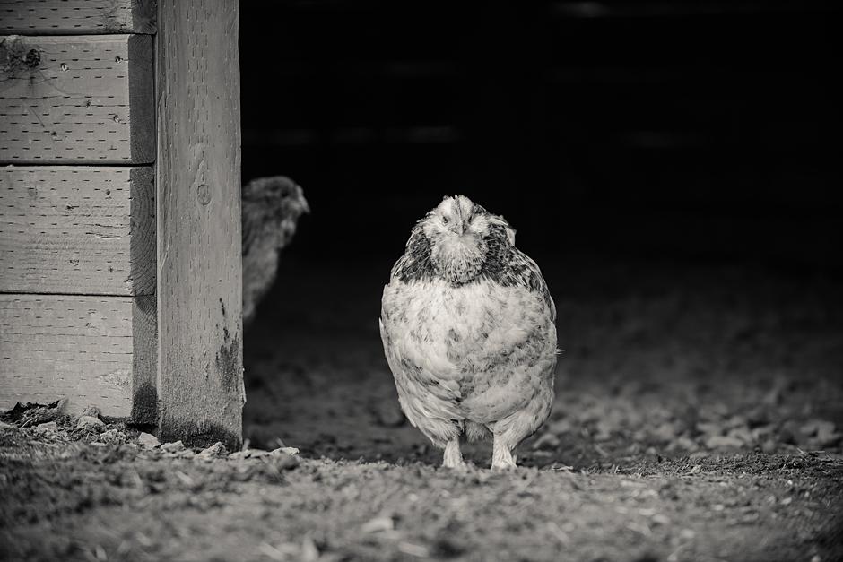 Resident chickens at Carlton Cellars Vineyard
