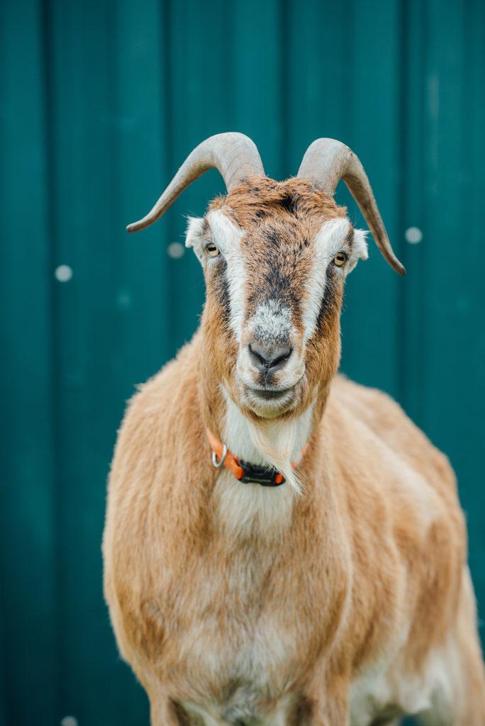 One of 3 goats living Carlton Cellars Vineyard and farm