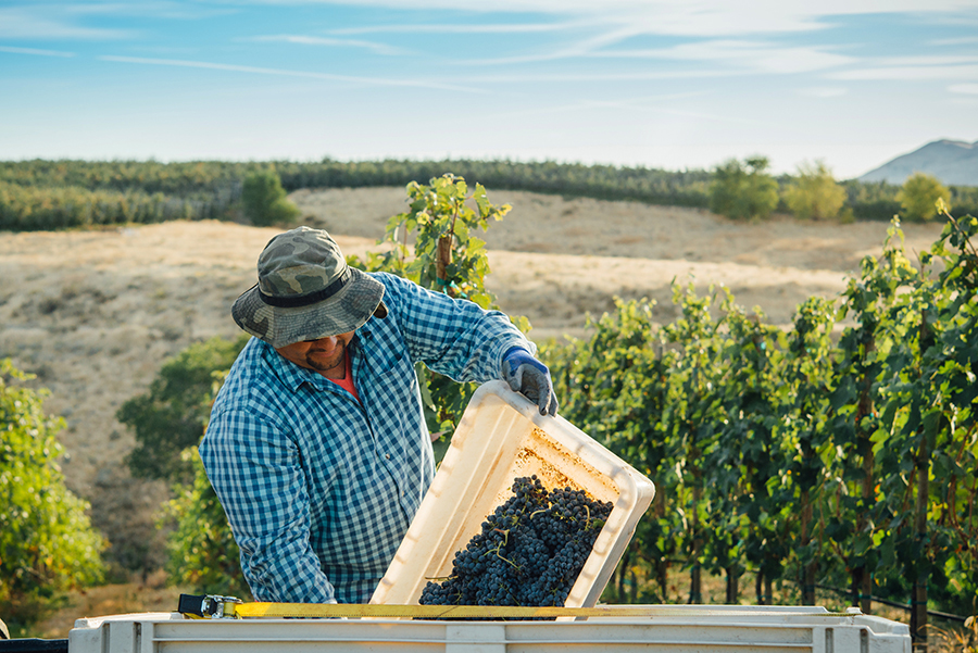 Grape Harvest for The Walls Winery